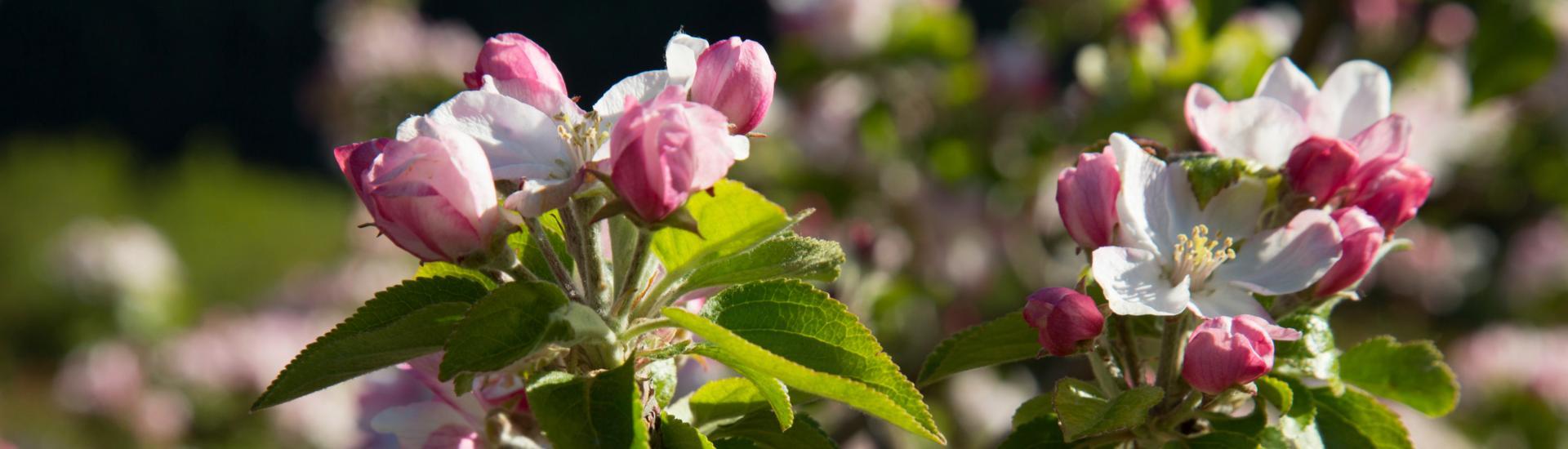 Verger en fleurs à Miolles